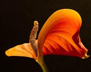 Anthurium Dancer