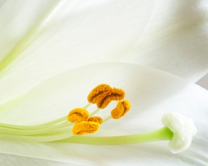 Elegent Lily