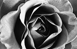Birthday Rose 35mm