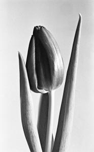 Valentine Tulip 35mm