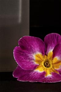 Early Spring Primrose