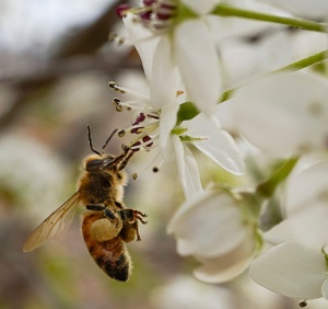 Bee Collecting-3885
