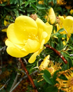 Mom's Rose-1