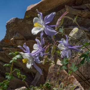 Colorado State Flower-1