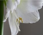 White Amarylis-2