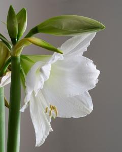 White Amarylis-3